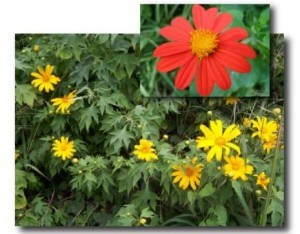 Make Your Dream Come True Day | Flower of the Day Mexican Sunflower